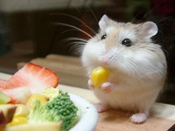 HamsterComiendo