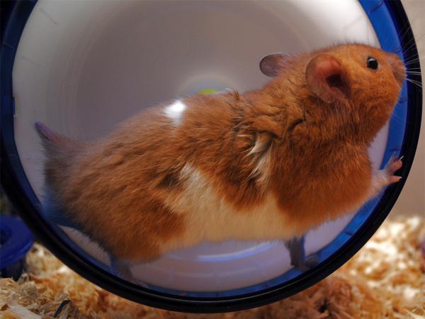 HamsterRueda