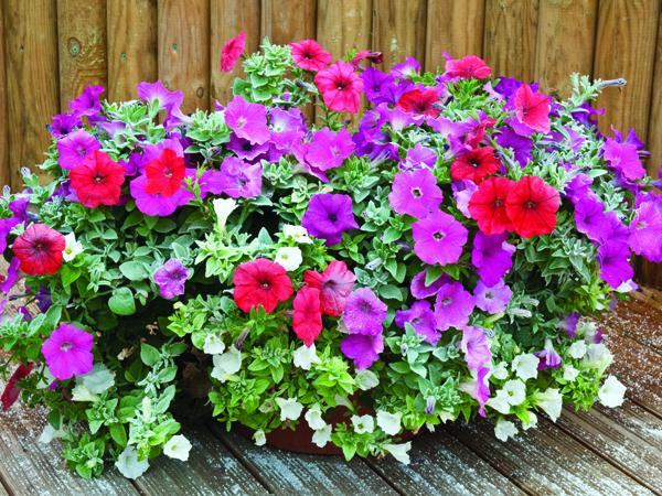 Como sembrar petunias en tu jard n for Una planta ornamental