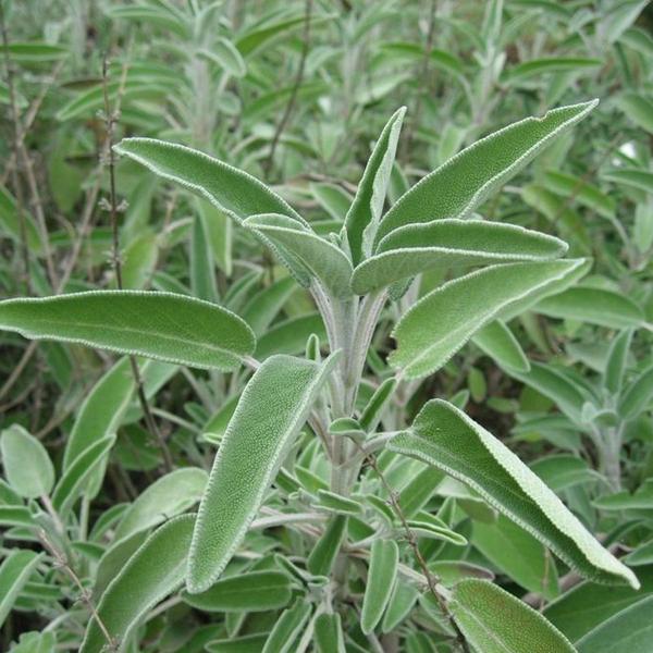 Salviaplanta