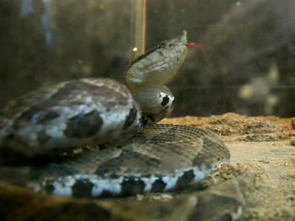 SerpienteEnPecera