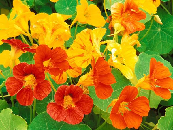PlantasCapuchina
