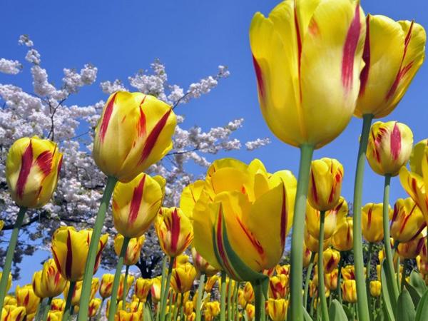 TulipanesAmarillos