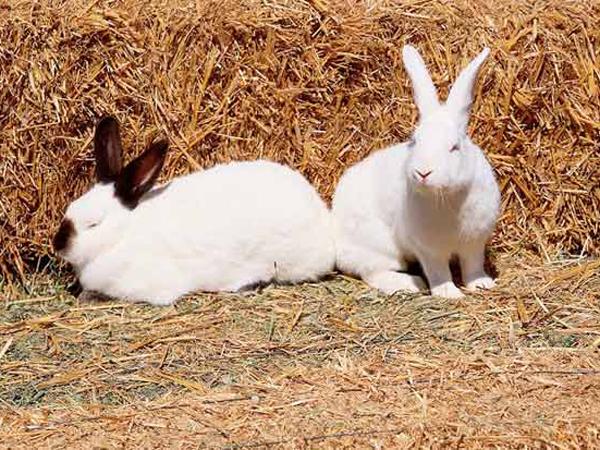 ConejosBlancos