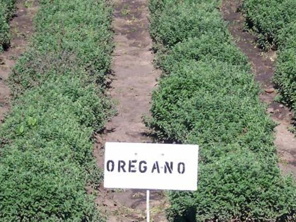 CultivoOregano