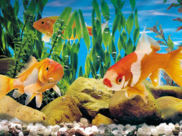C mo mantener los peces vivos en tu pecera for Peces de pecera