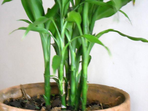 Como cuidar una planta de Bambú y consejos para cuidarlos