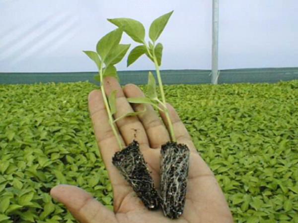 PlantulaTomate