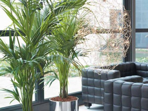 Como cuidar palmeras en el interior de tu casa - Planta interior palmera ...