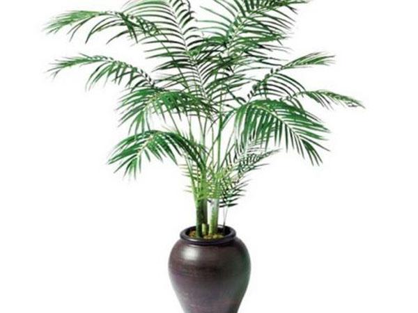Como cuidar palmeras en el interior de tu casa - Plantas de interior palmeras ...