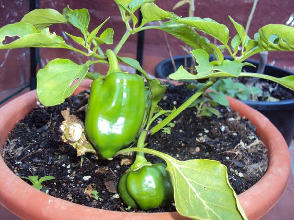 Como instalar pimientos en una maceta for Como sembrar semillas en macetas