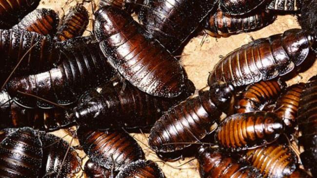 tlmd_cucarachas_cultivo