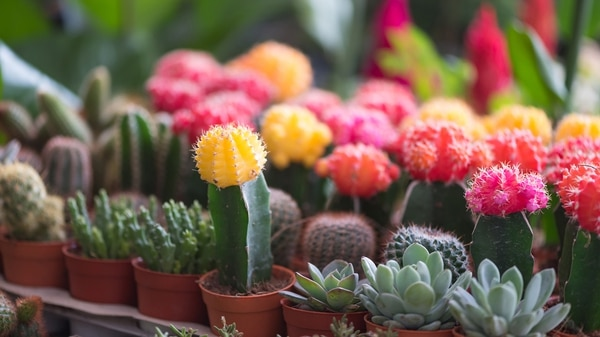 C mo cultivar cactus con flores 10 consejos e ideas para for Como plantar cactus