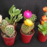 Cómo cultivar cactus con flores: 10 Consejos e ideas para jardines de cactus