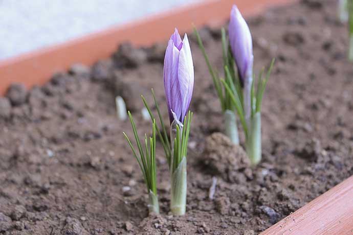 Azafran cultivo or gen propiedades - Como cultivar azafran ...