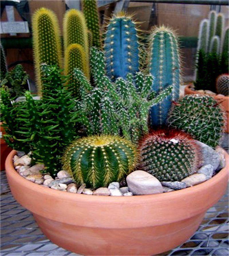 C mo cultivar cactus for Como plantar cactus